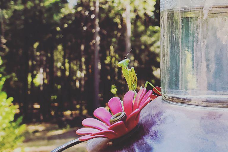 Praying mantis perched on a hummingbird feeder