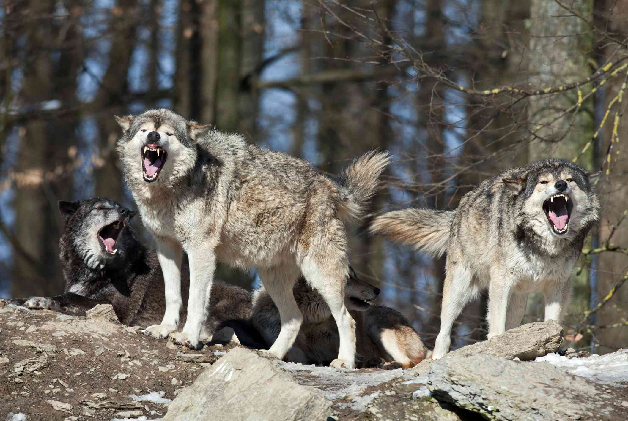 Calling Wolves