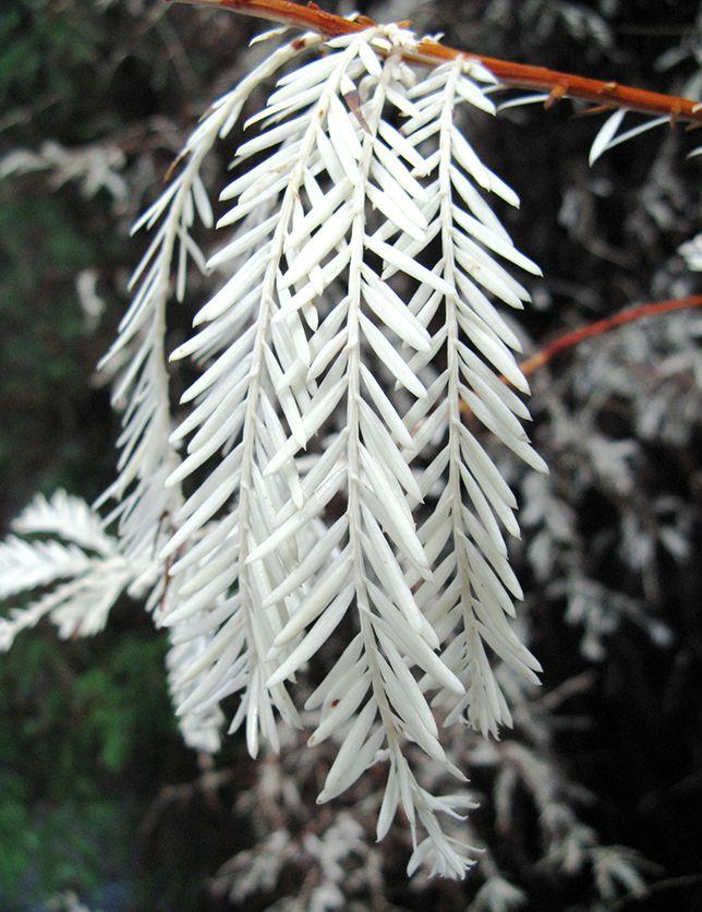 Albino redwood needles