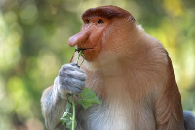 A male Proboscis monkey with a dark brown furry head munching on a green plant.