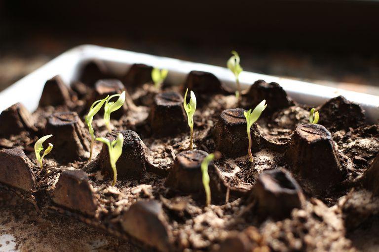 Pepper plants growing in an egg carton
