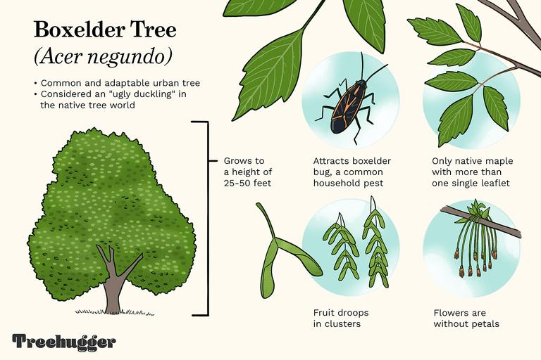 Identifying Boxelder Tree illustration