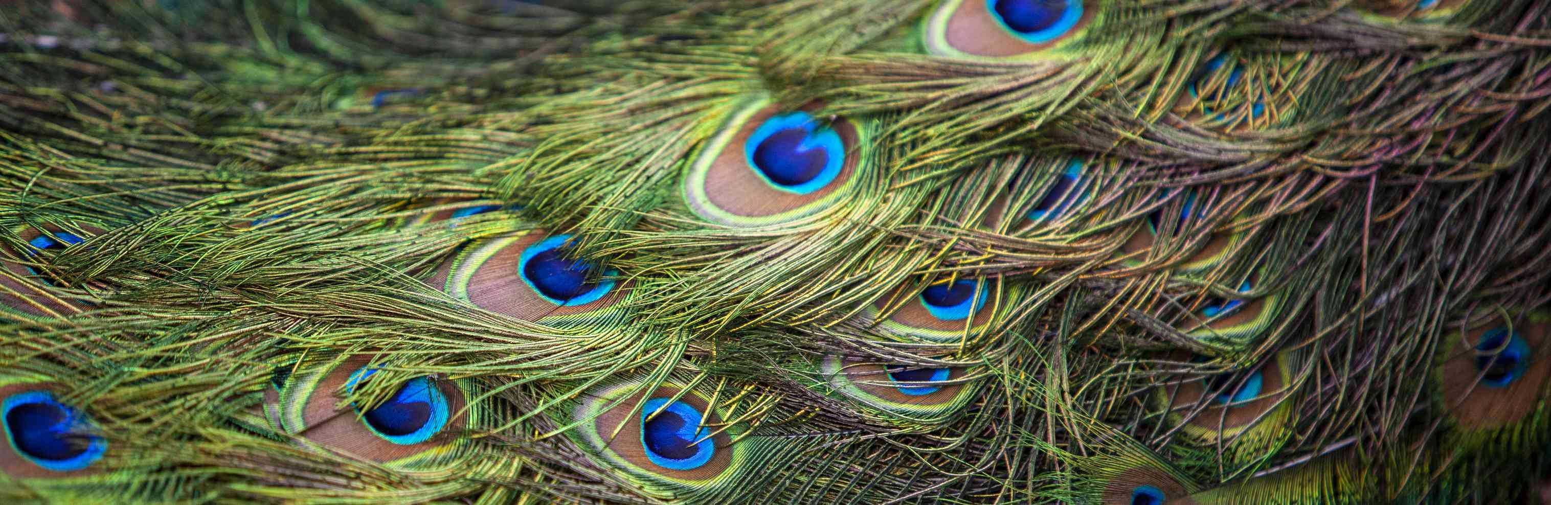 Pattern of multi colored bright feathers of a peacock tail, background