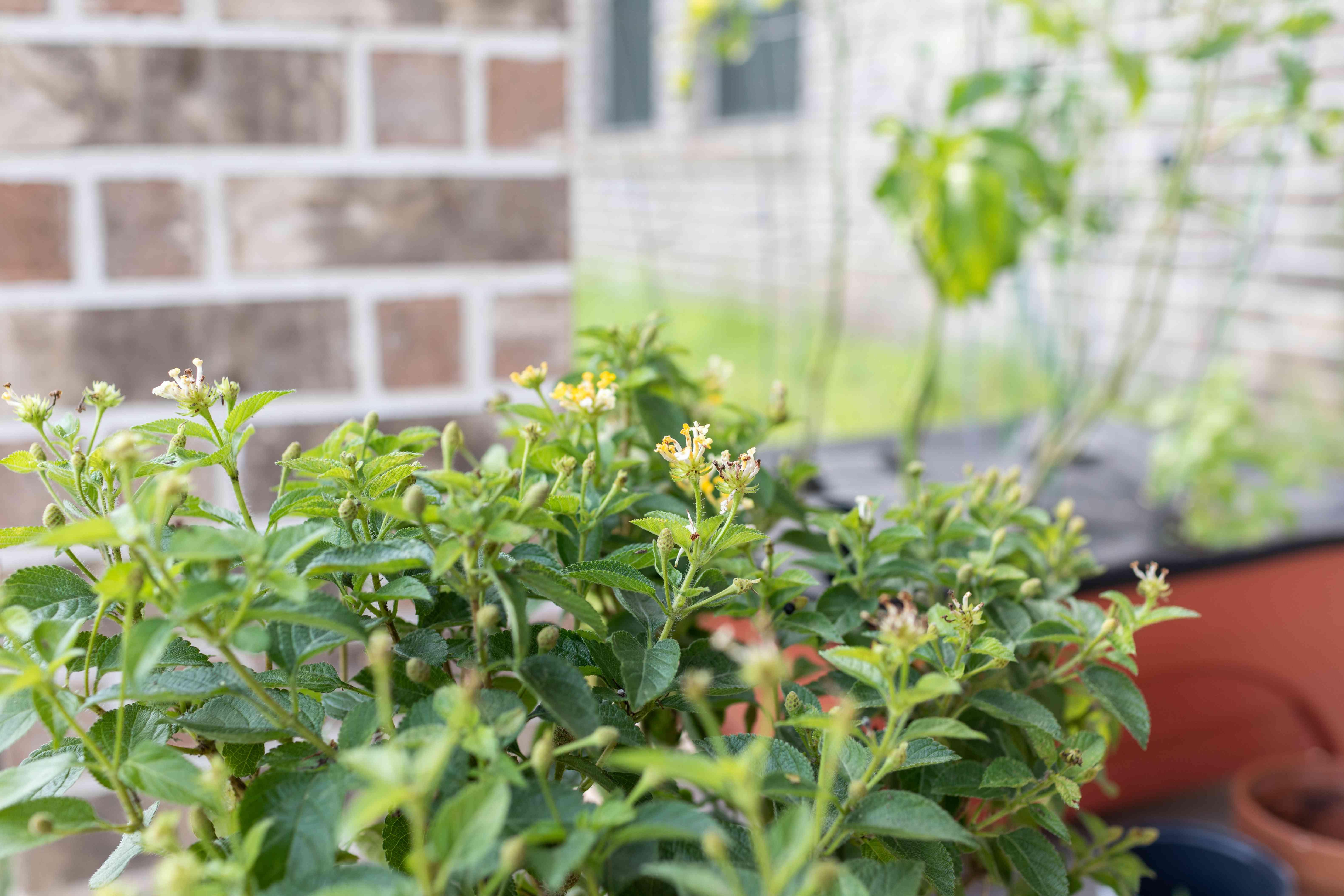 Flowering lemon balm grows outside in pot on brick-walled patio