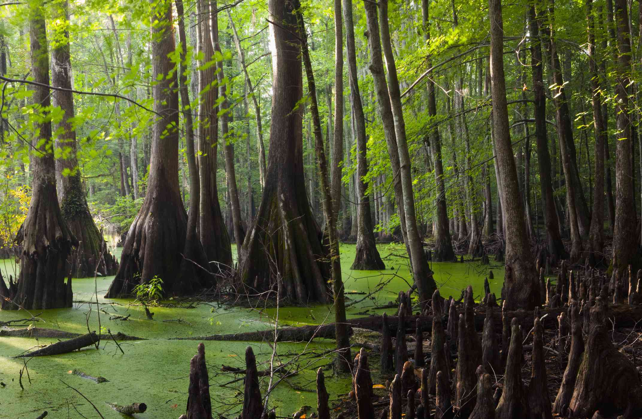 Great Dismal Swamp National Wildlife Refuge with green algae surrounded by cypress trees and cypress knees