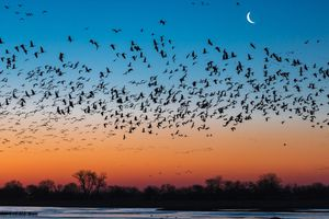 A flock of sandhill cranes flying above the Platte River at sunset with a silhouette of trees above the water line, an orange and red tinted sky at the horizon, and a blue sky with a sliver of moon visible above