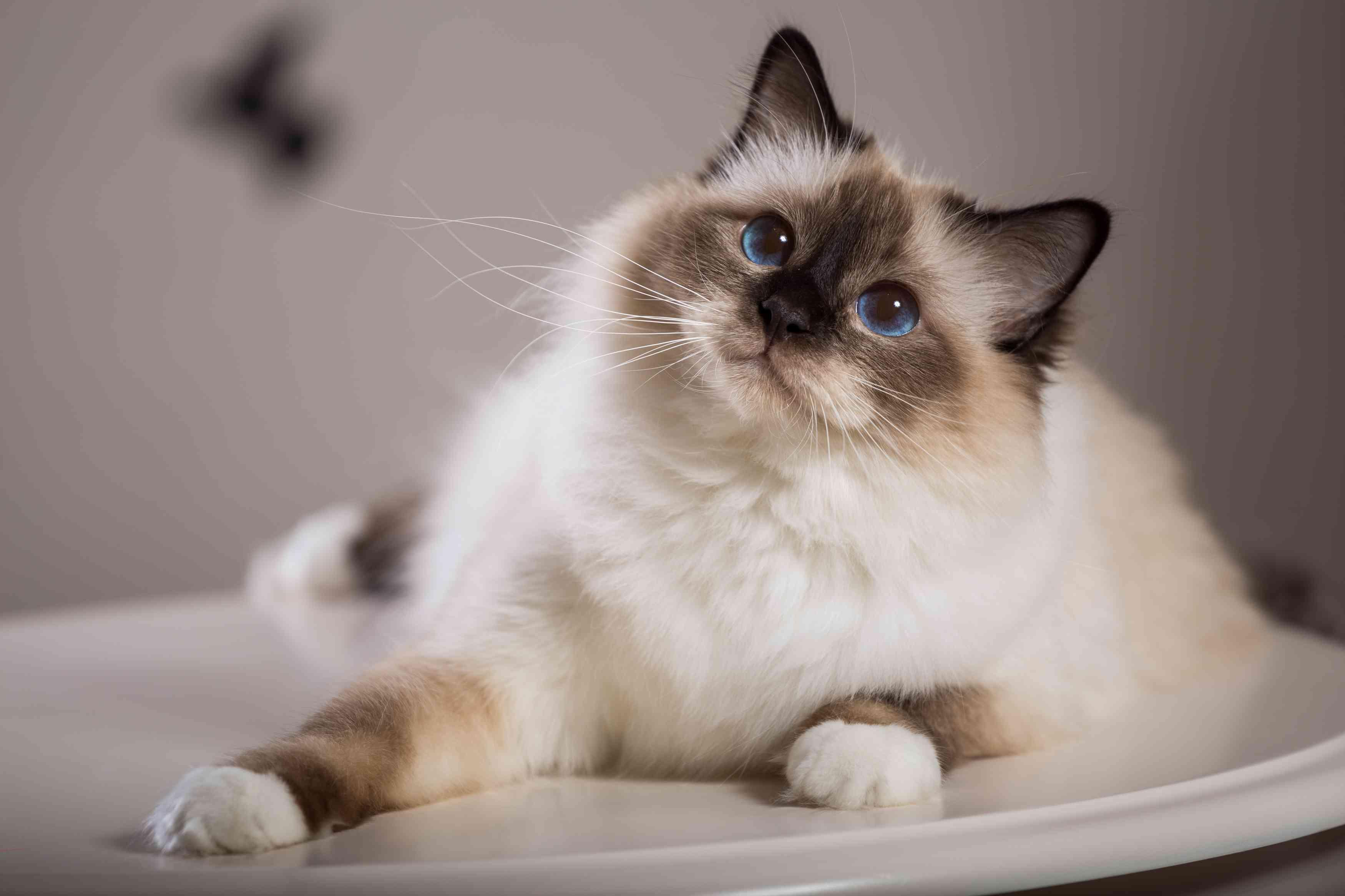 Blue-eyed Birman cat sitting on a round, white table