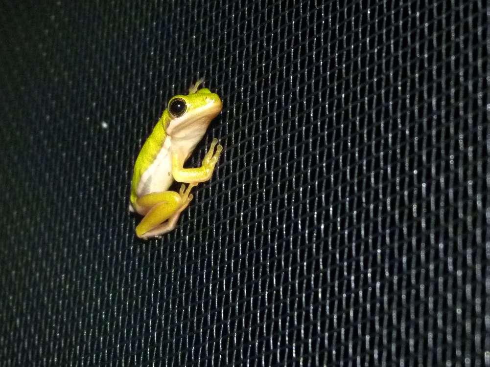green tree frog on a screen window