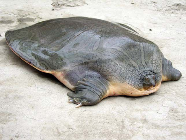 Cantor's Giant Soft Shelled Turtle - a flattened freshwater turtle on the shore