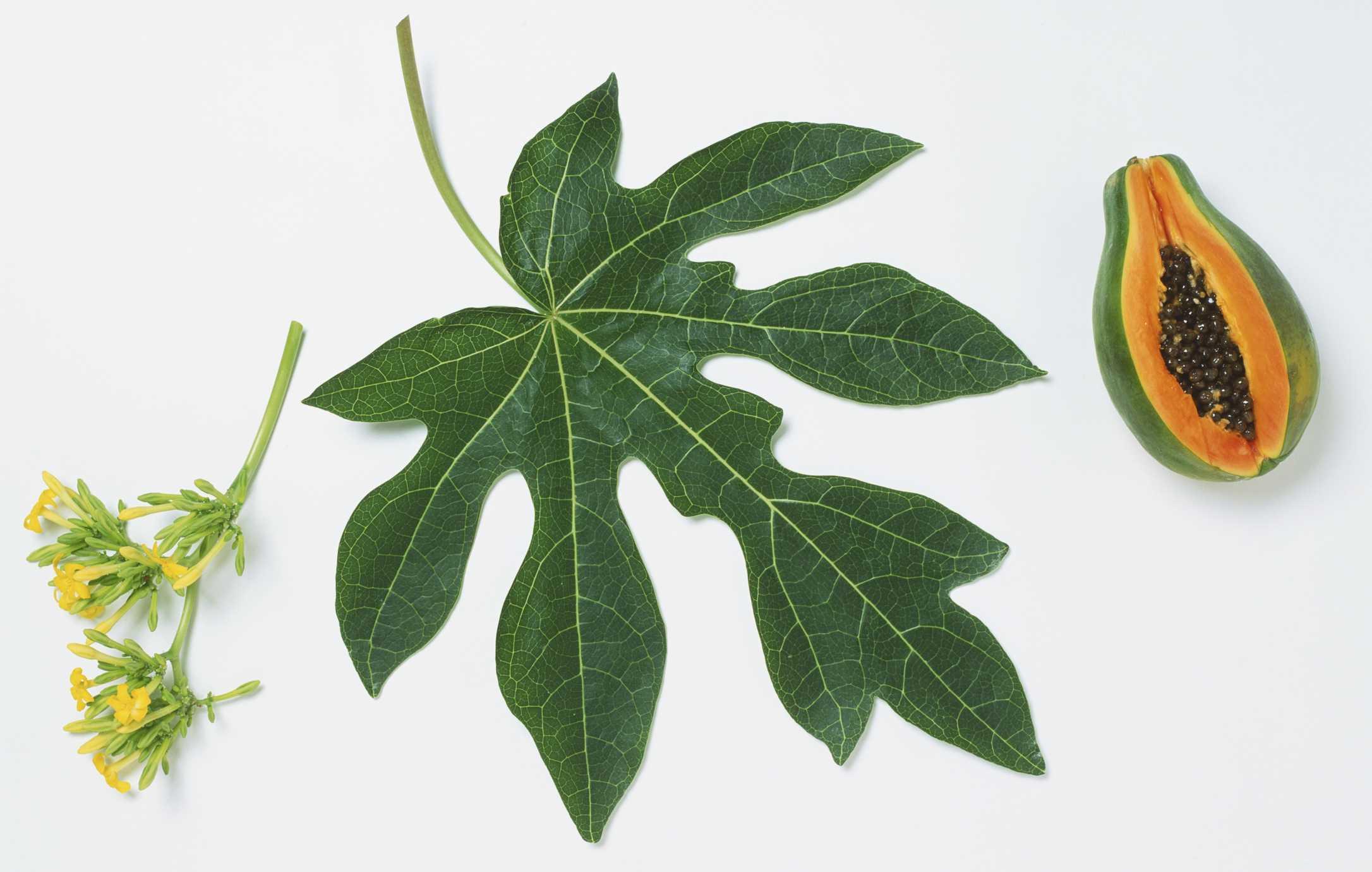 Lobed leaf