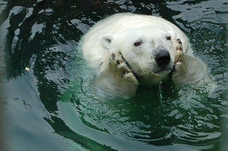 a polar bear contemplates his fate photo