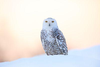 Snowy owl in a snowbank