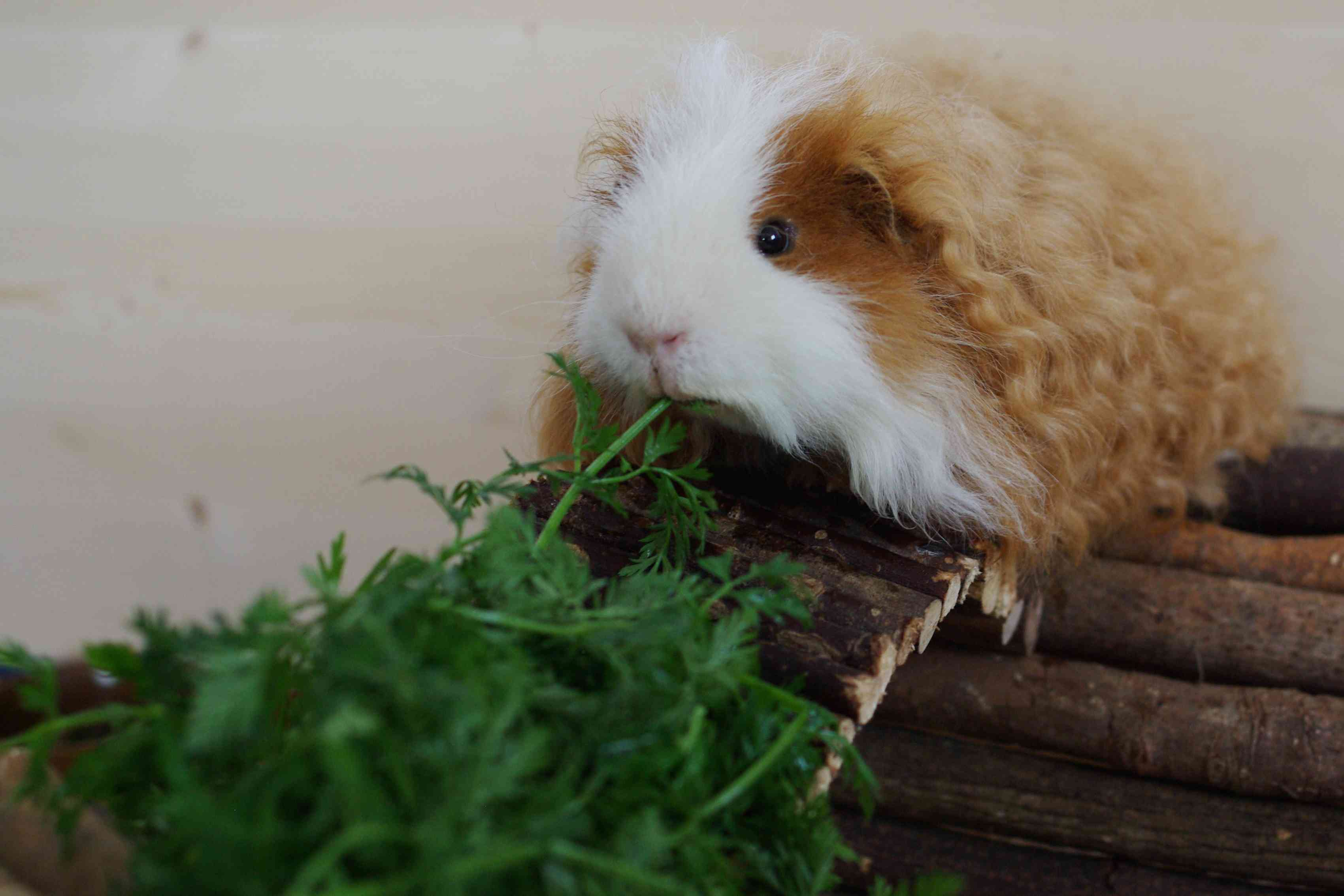 brown and white Texel guinea pig eating greens