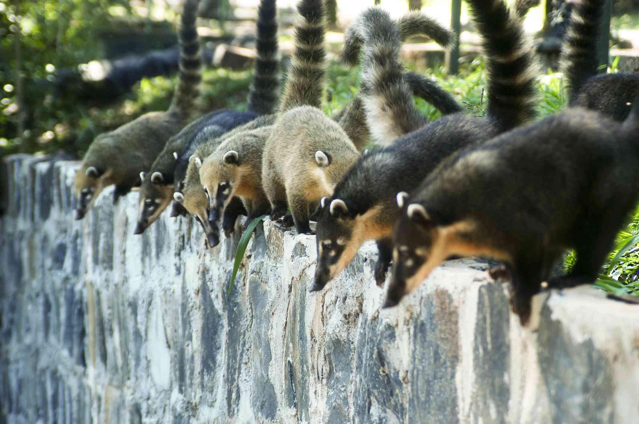 A band of coatimundi at Iguaçu Fall National Park, Brazil.
