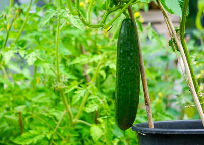 Close-Up Of Fresh Green Cucumber Growing In A Greenhouse