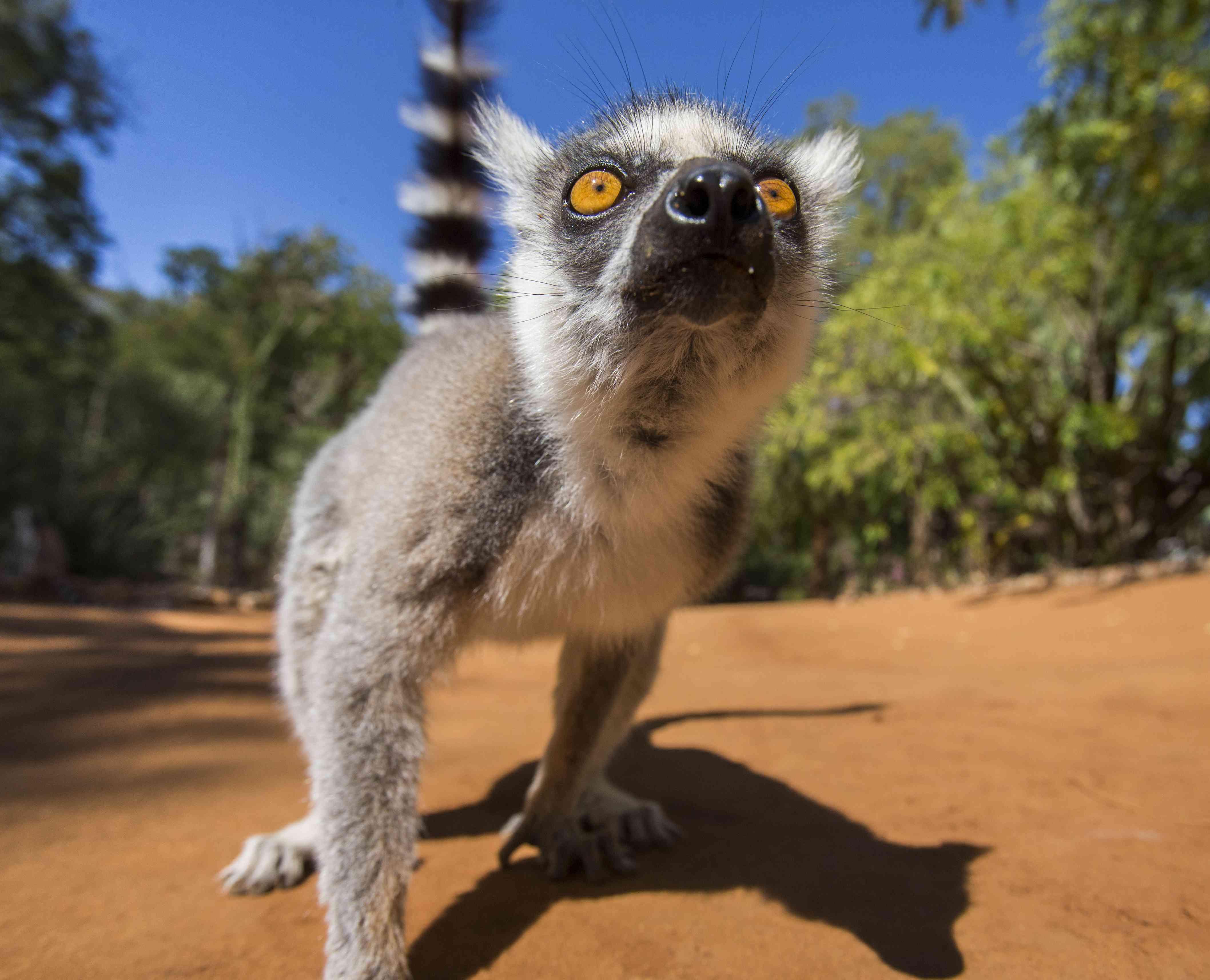 ring-tailed lemur close-up