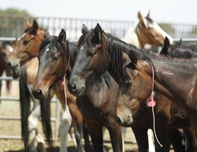 Wild horses in a BLM holding facility in Utah