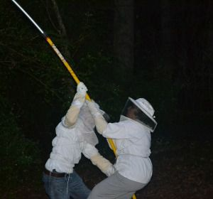 beekeepers try to bring in a swarm with a long pole