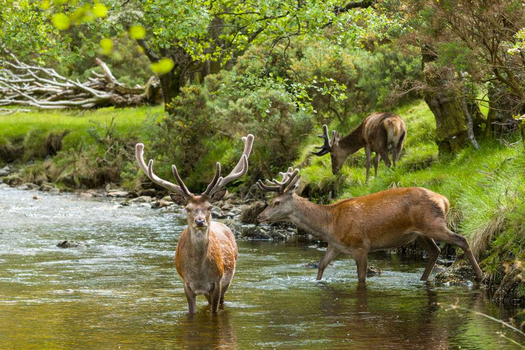 Red deer entering a river.