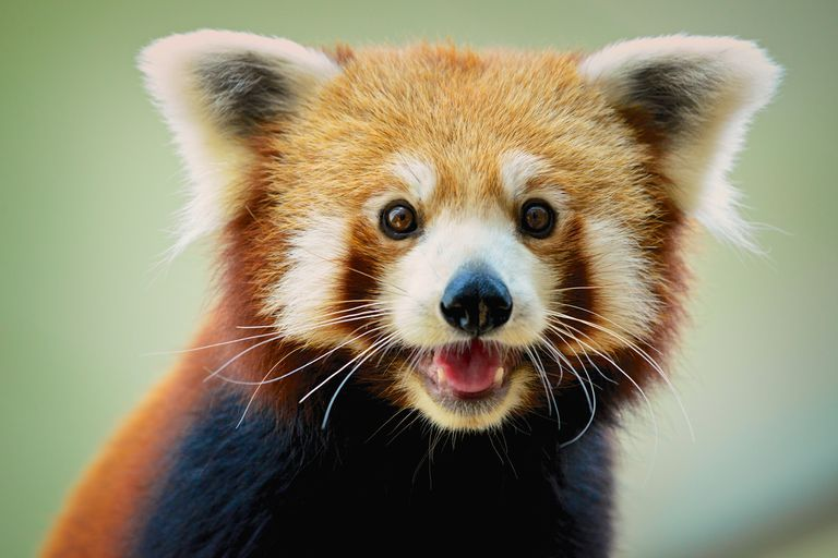 Red pandas are part of their own distinct scientific family.