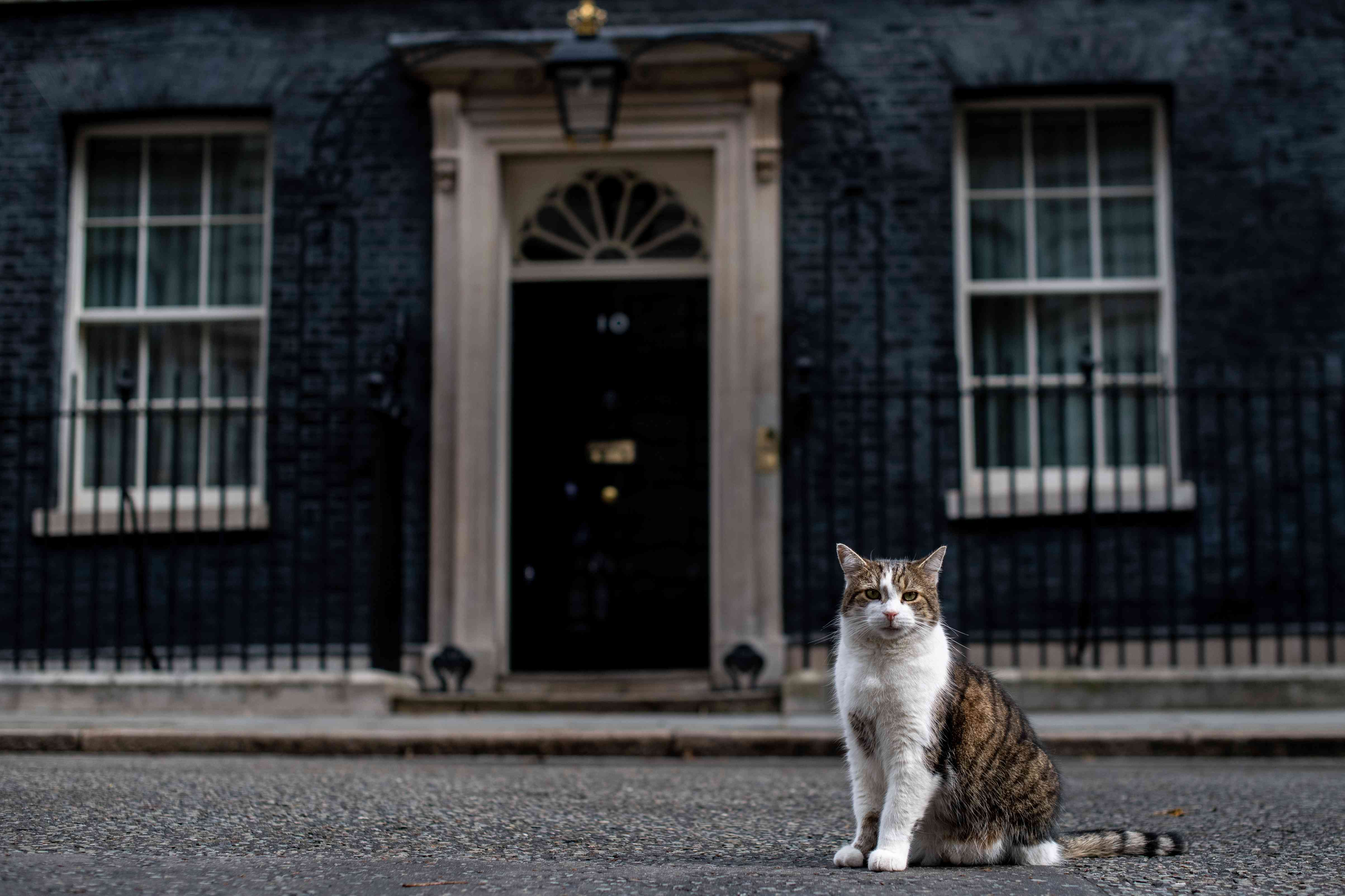 white and brown cat in front of 10 downing street