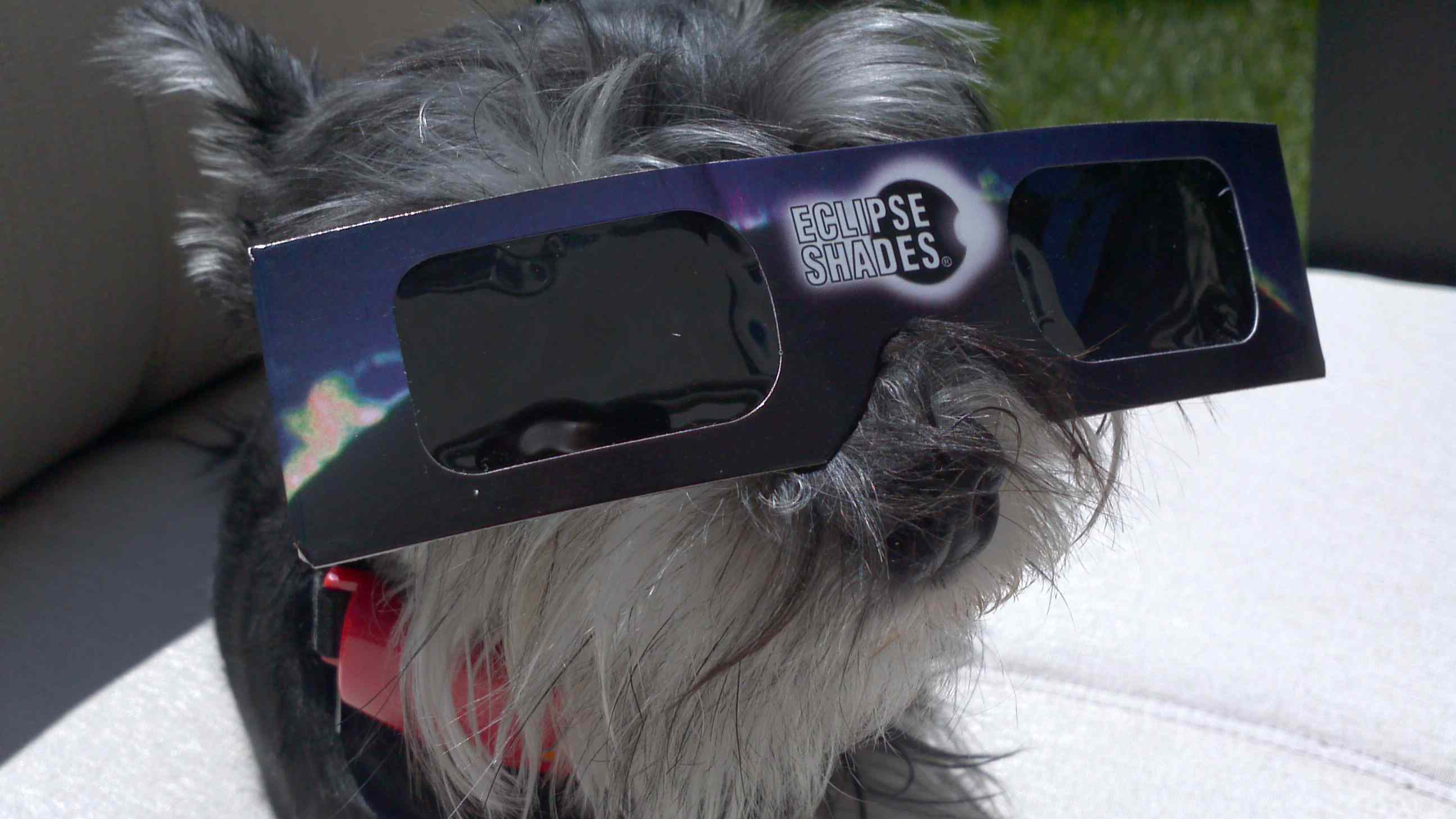 dog wearing eclipse protection glasses