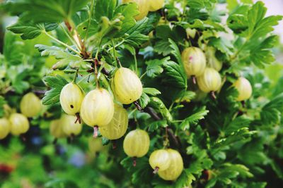 Close-Up Of Gooseberries Hanging On Plant