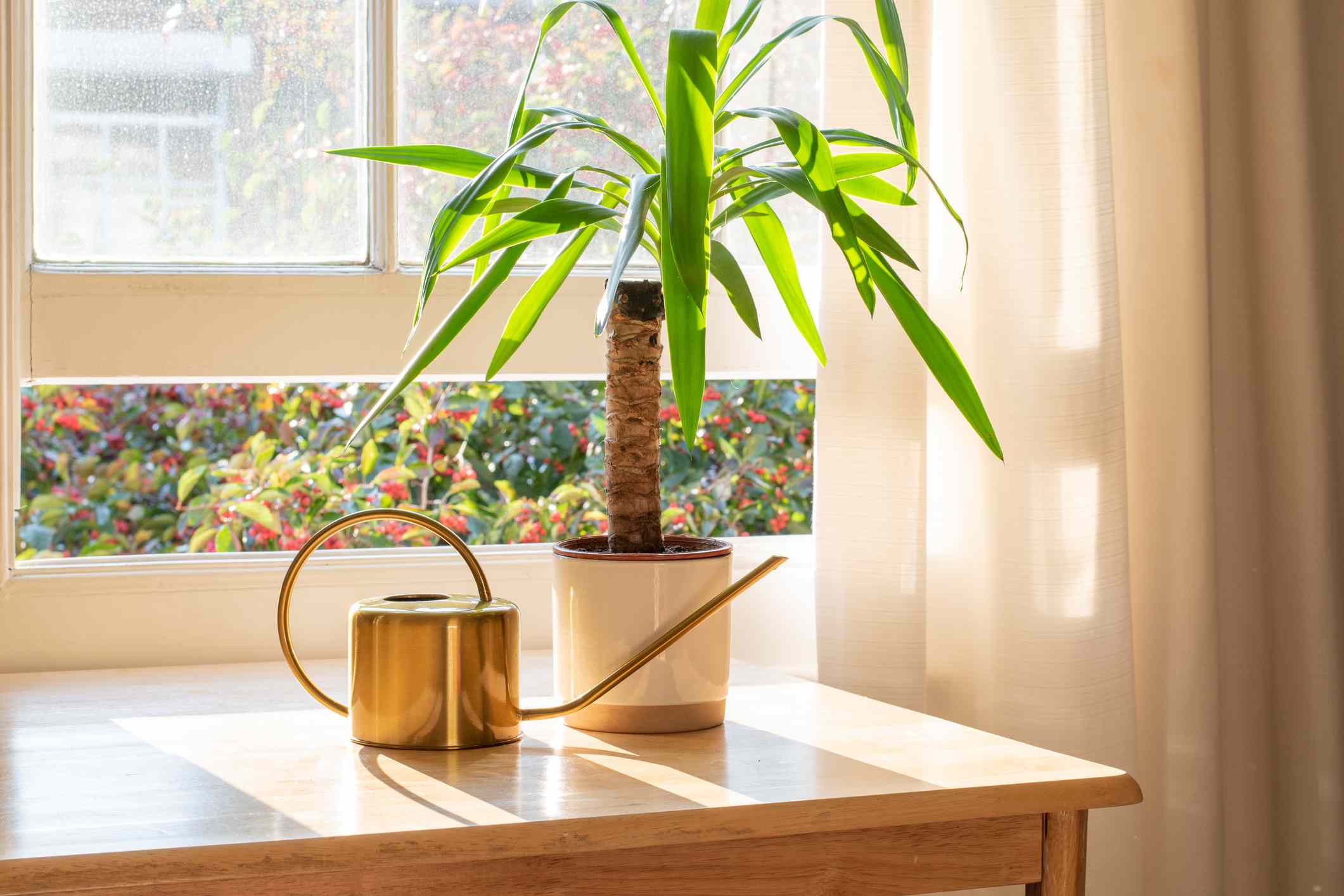 Yucca plant in a sunny window next to a gold watering can.