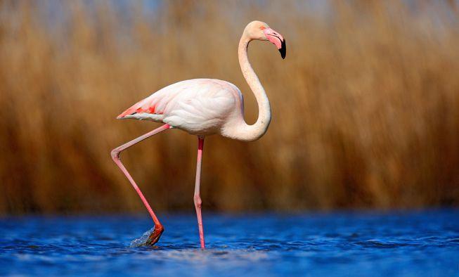 A flamingo walking through shallow water
