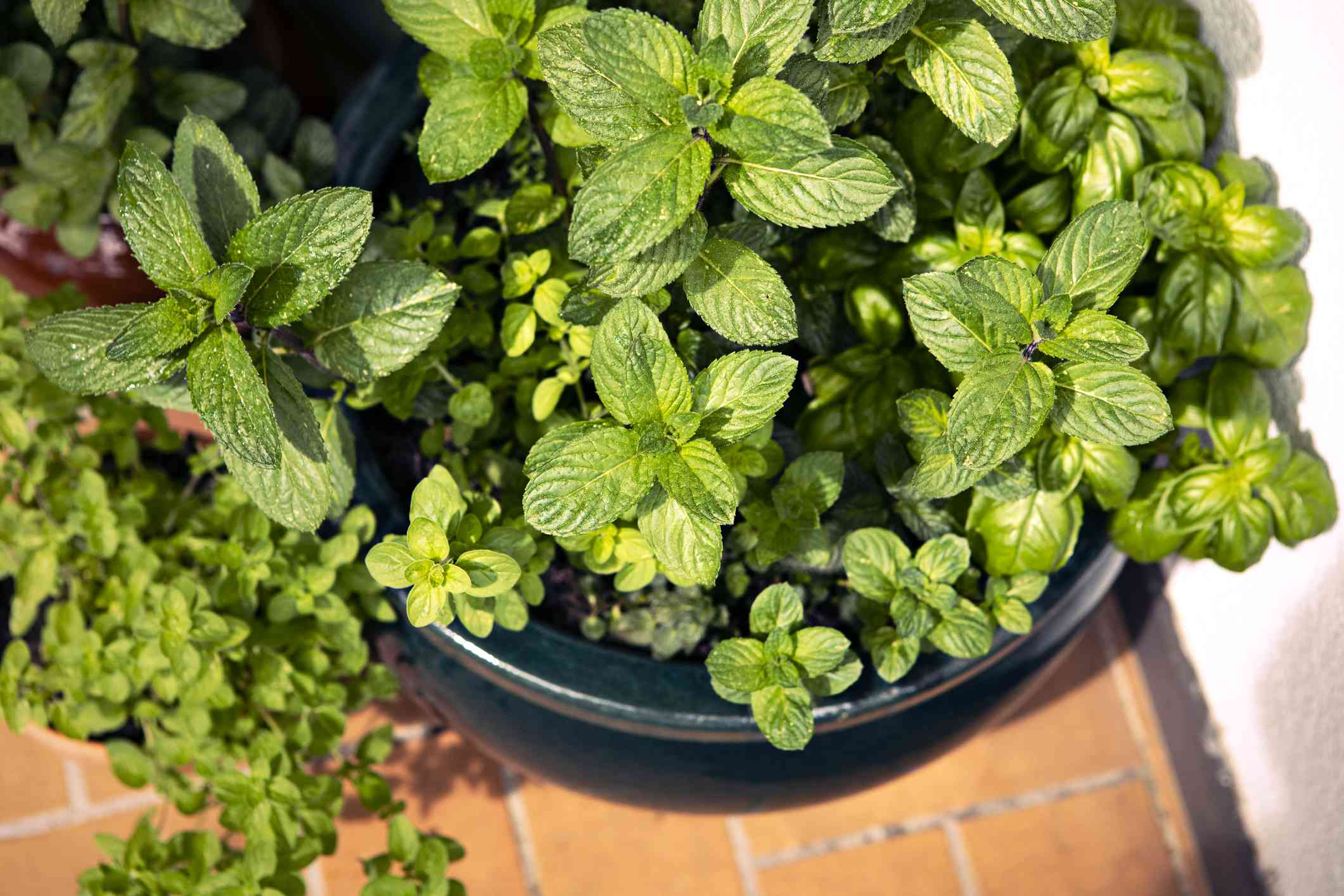Mint growing with other herbs in a balcony garden pot.