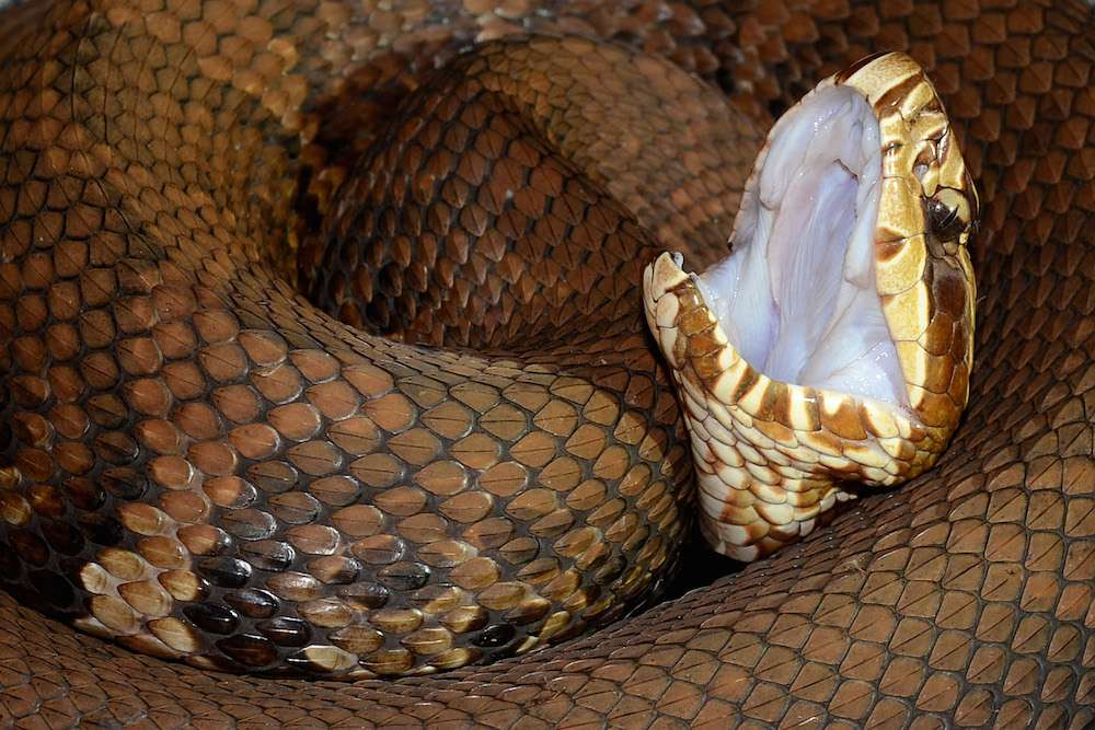Cottonmouth snake coiled with its mouth open