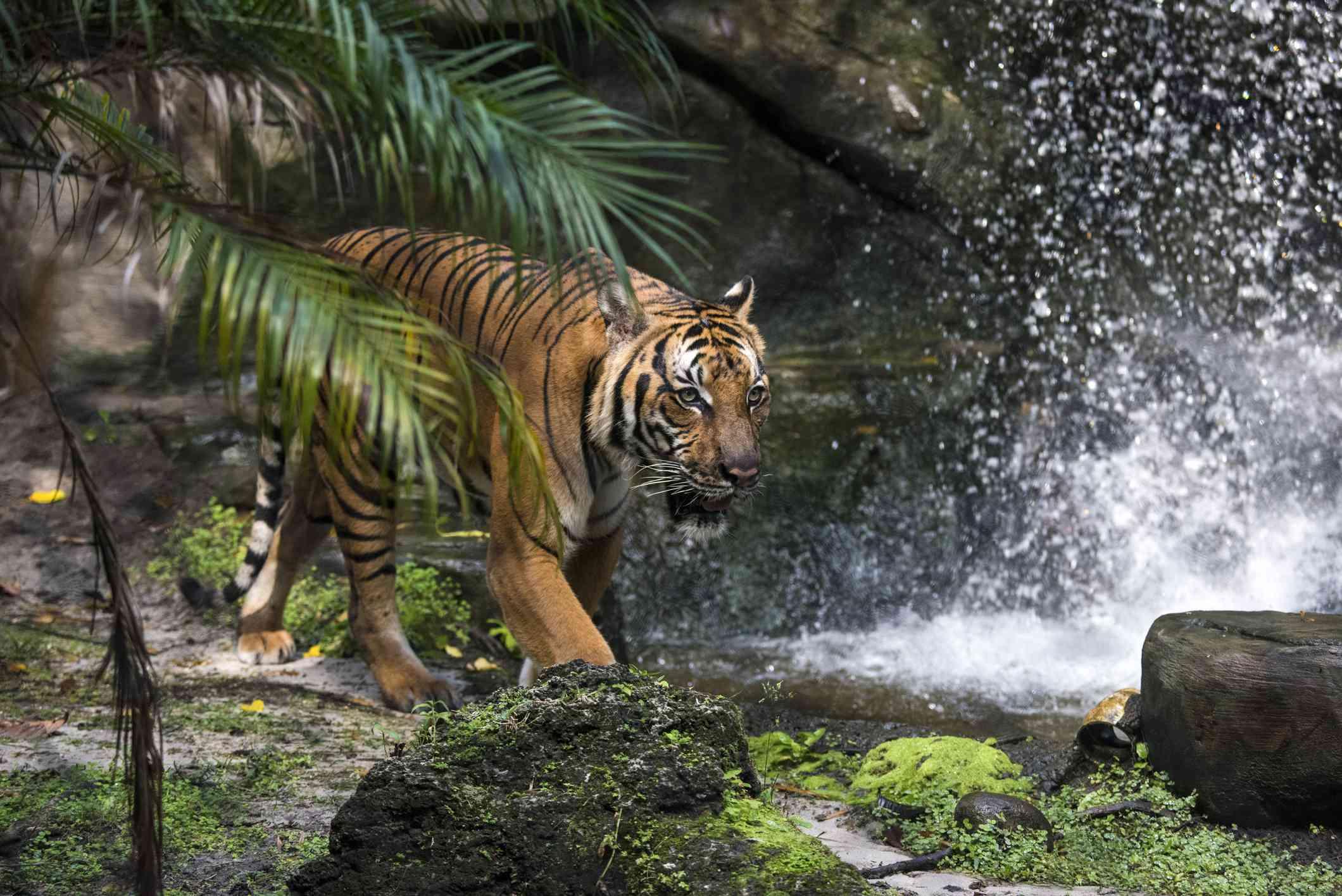 A Malayan tiger near a waterfall