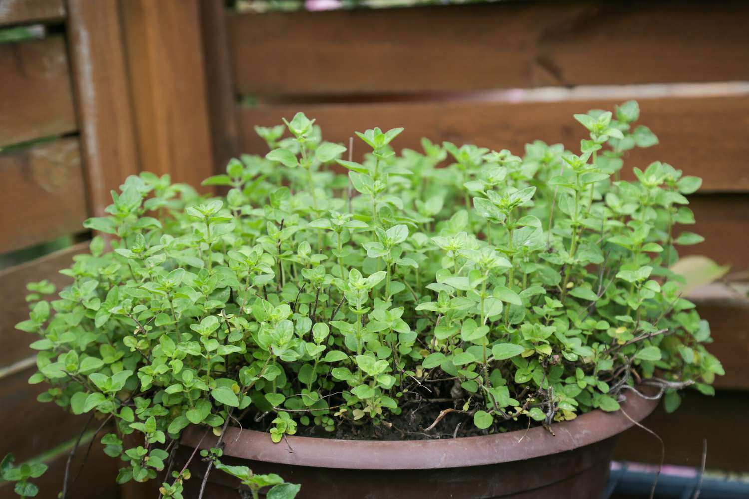A cluster of thumbnail-sized oregano leaves grow in a pot