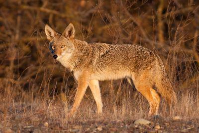 coyote walking in grassland area around sunset