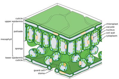 cellular and tissue structure of a dicotyledonous leaf