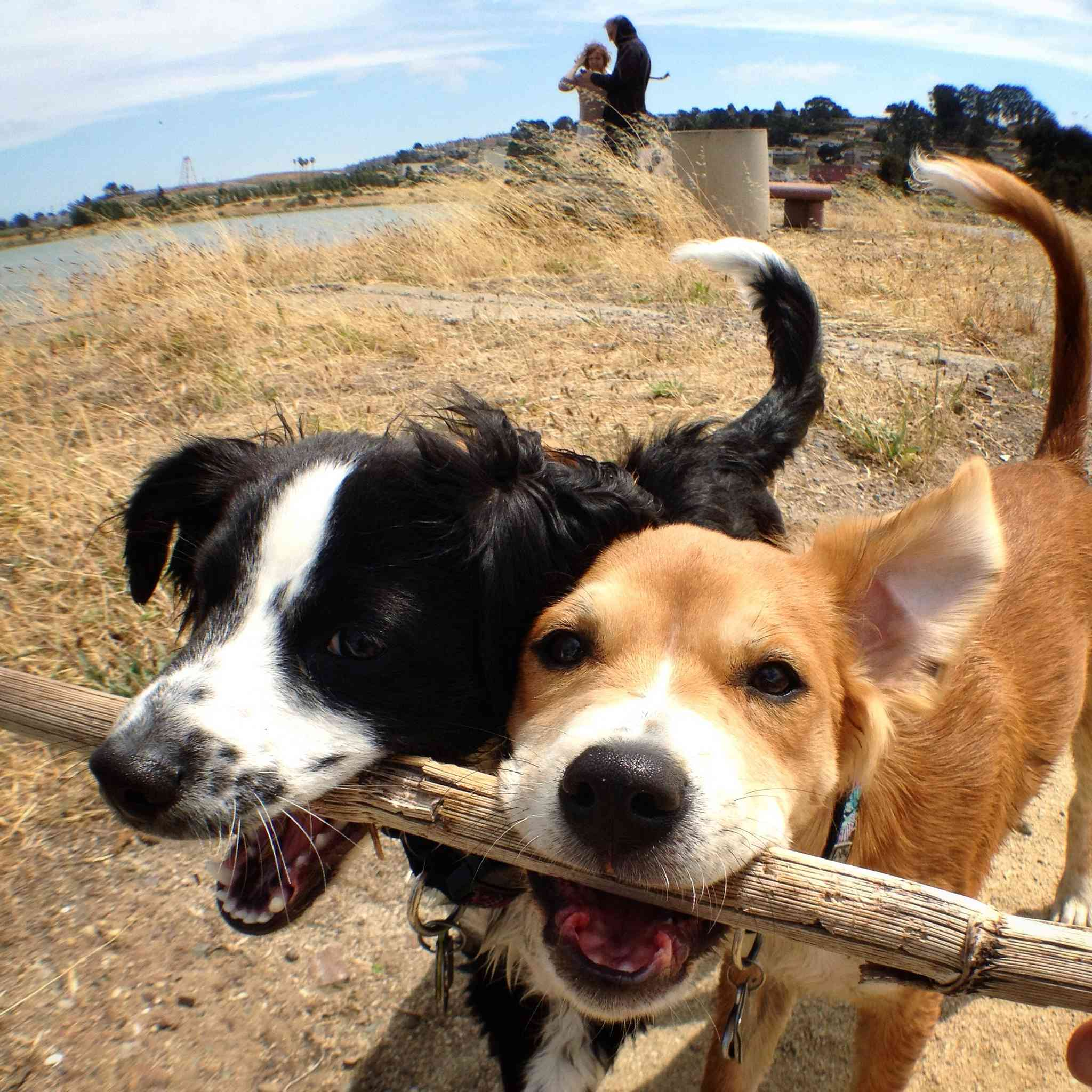 two dogs hold a stick