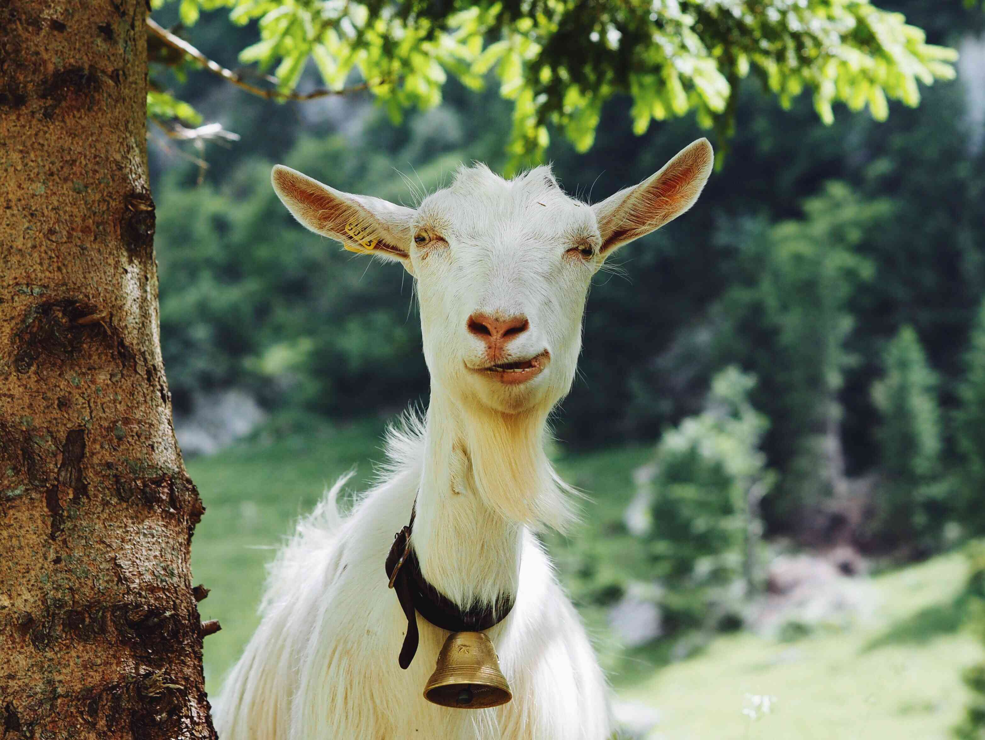 Goat with a bell around its neck standing next to a tree