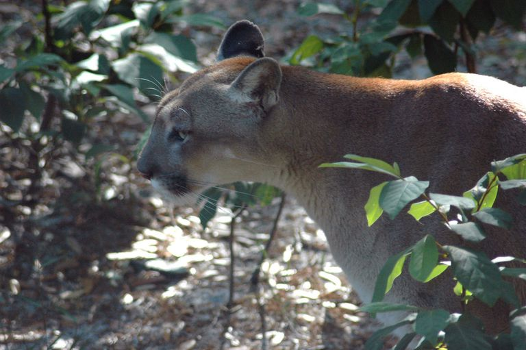Las panteras de Florida, en peligro de extinción, luchan por caminar