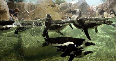 penguins return to the Audubon Aquarium after Hurricane Katrina
