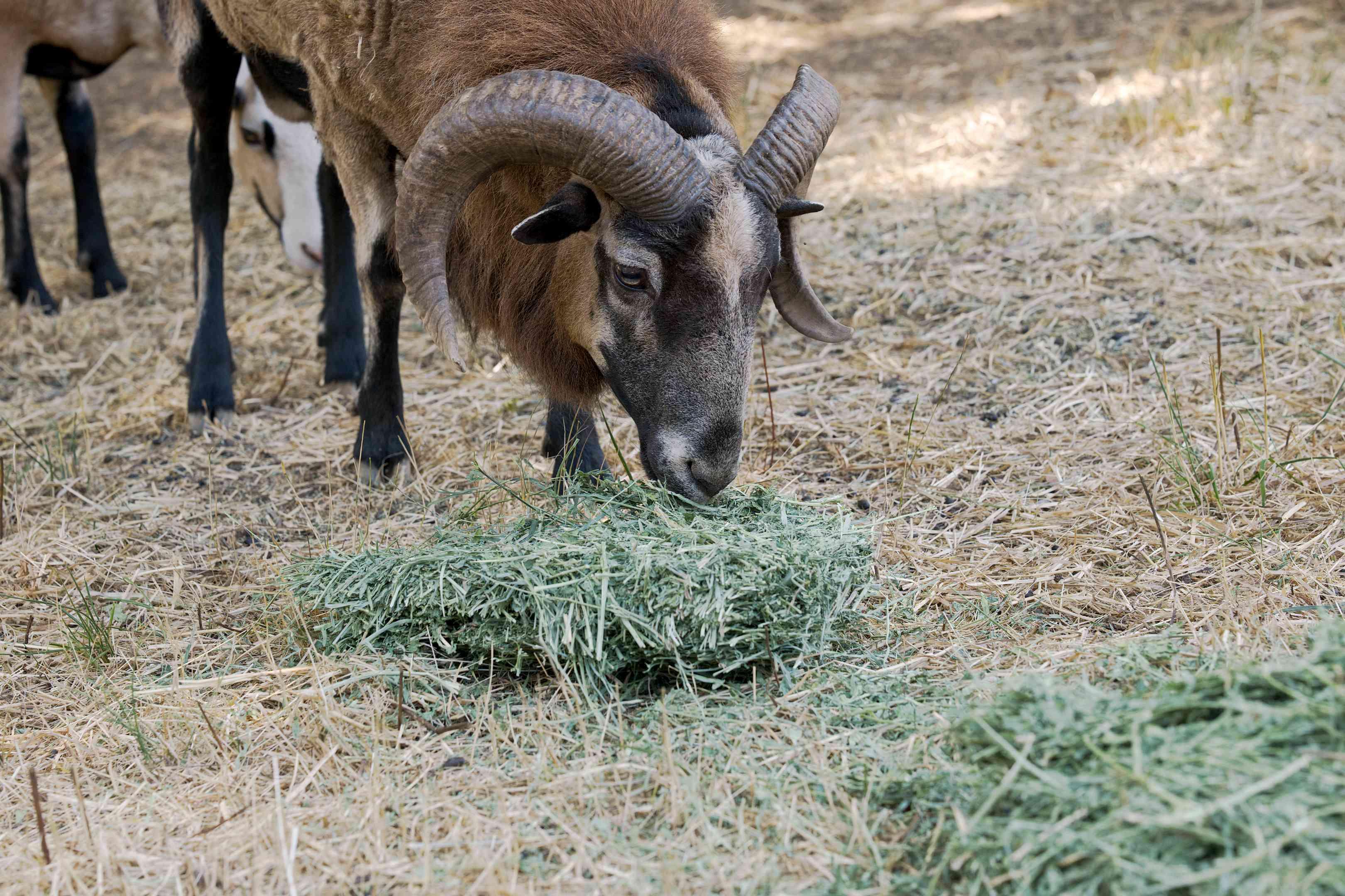 large black ram sheep munches on alfalfa on ground