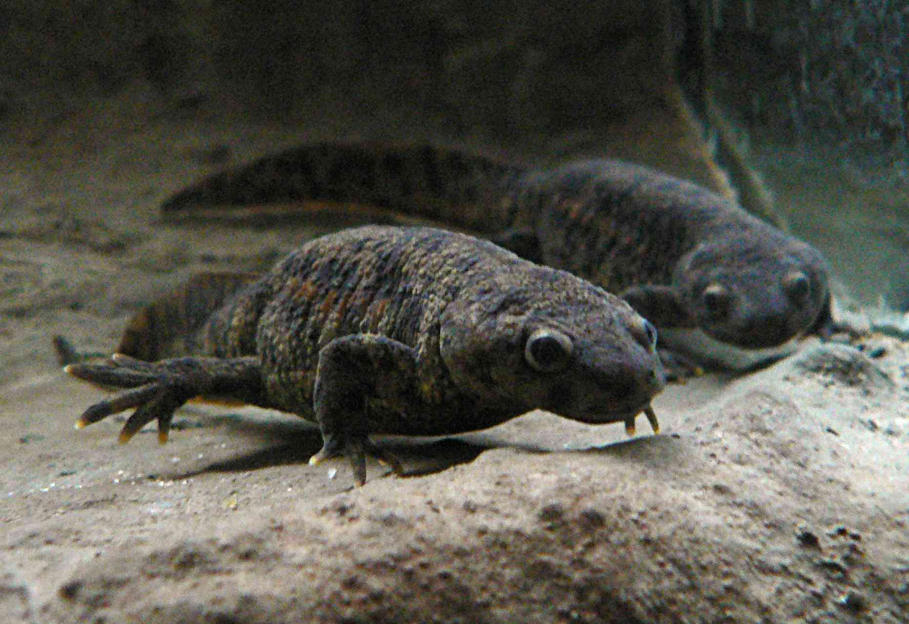 This unusual species of newt uses its own ribs as a weapon.