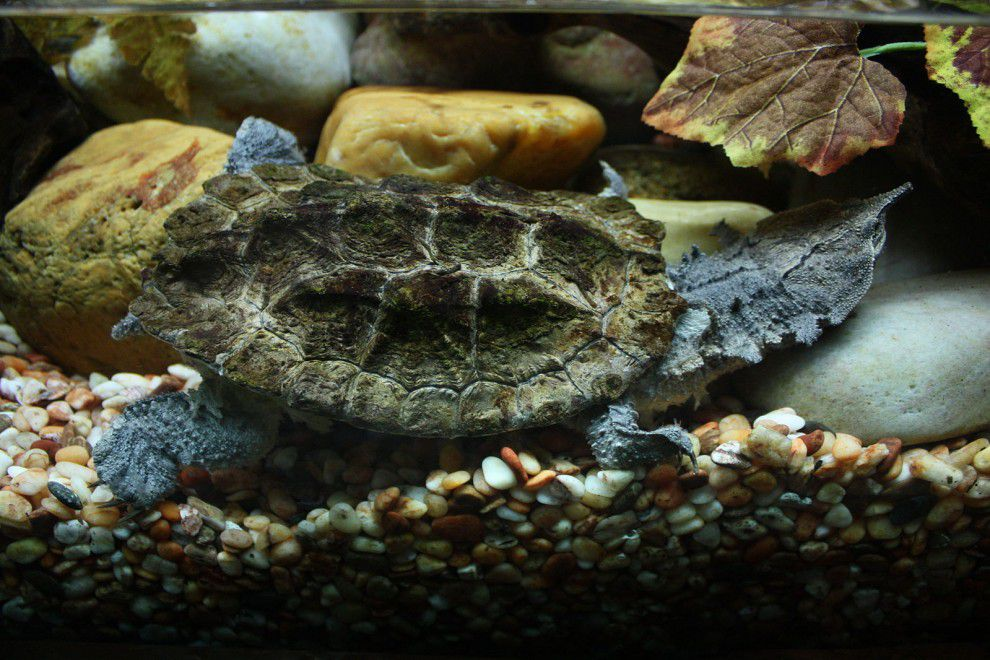 Mata mata turtle showcasing its leaf-looking head