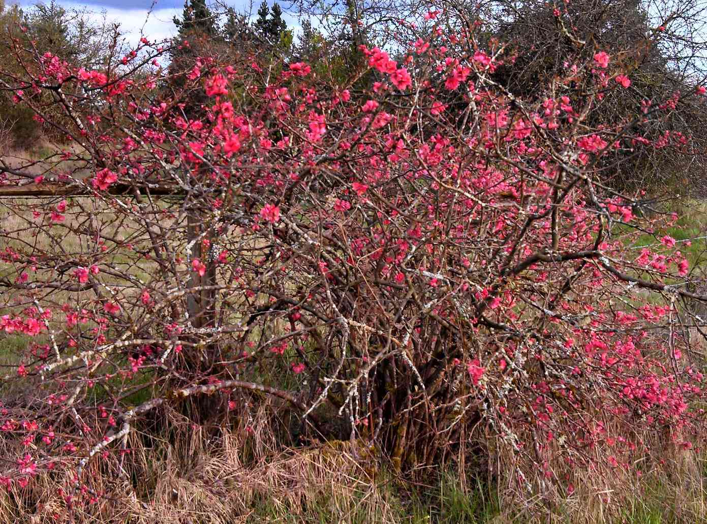 A tangled, woody bush with hundreds of small pink blossoms sits in a field