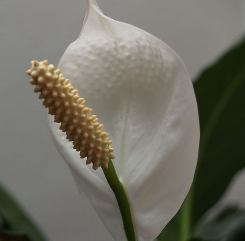 peace lily in the house