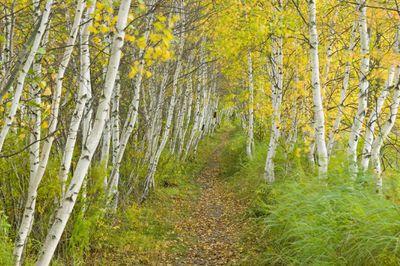 Path through a grove of white birch trees in Autumn