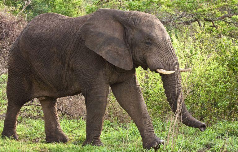 Cazador de caza mayor aplastado por elefante moribundo