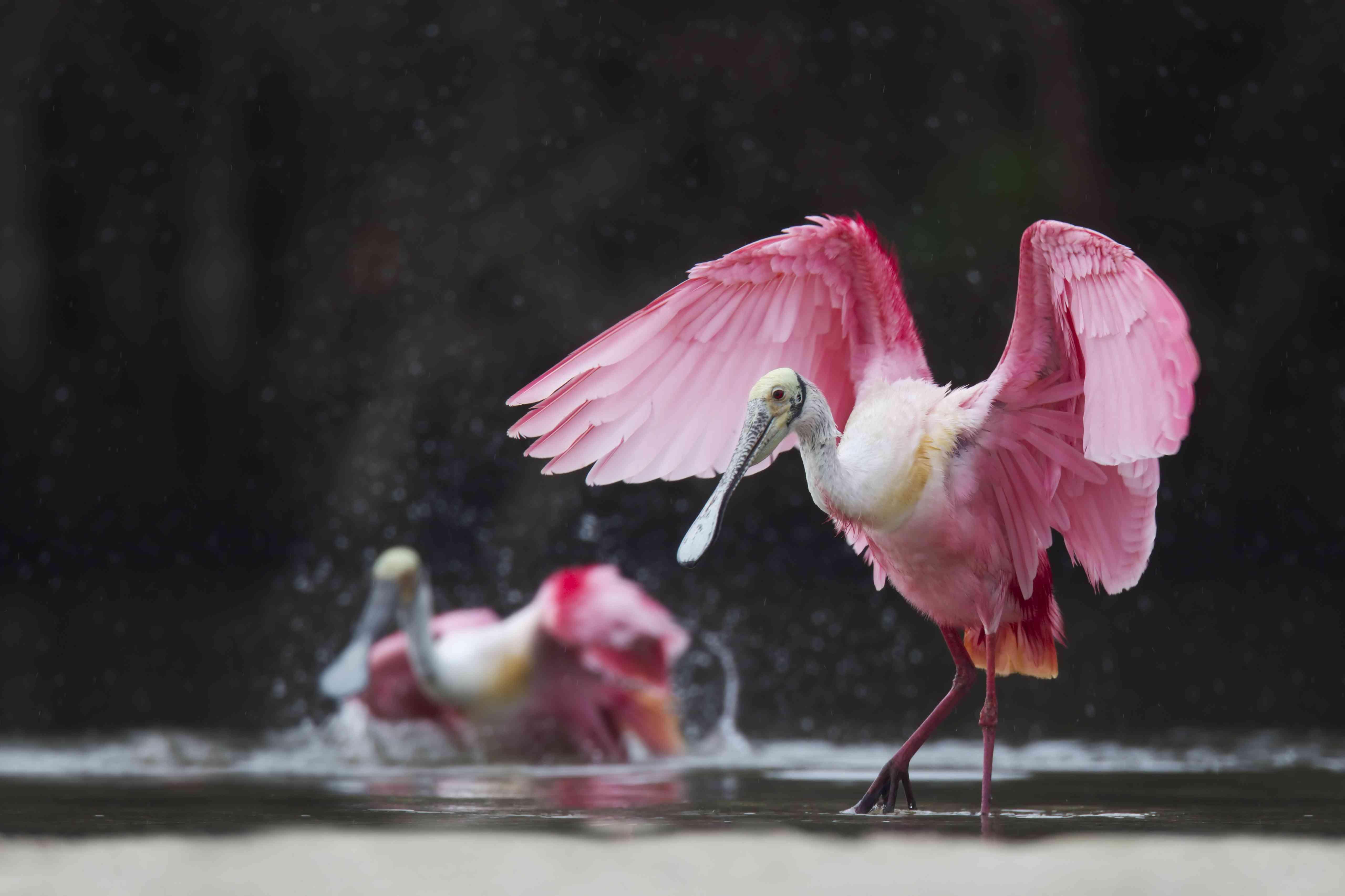 Roseate spoonbills bathing