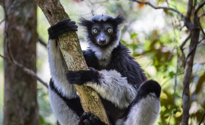An indri in a tree
