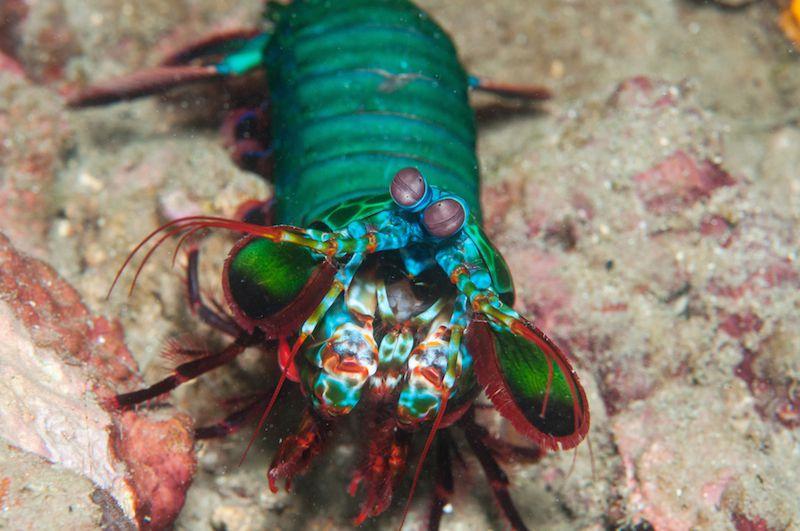 green mantis shrimp along the sand bottom of ocean