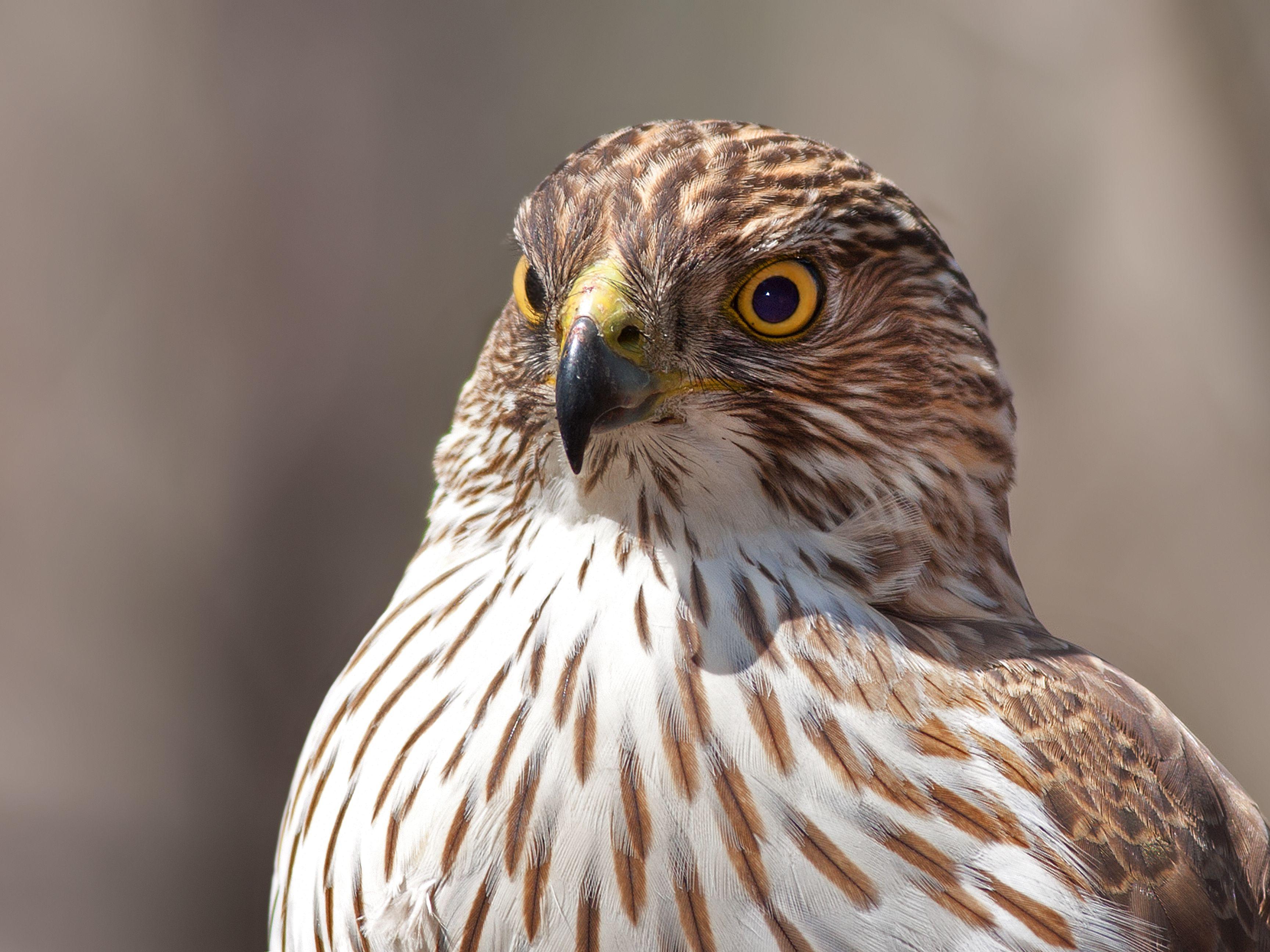 cooper-s-hawk-profile-583855629-d89e191a